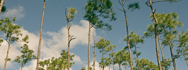 Tall pines and blue sky