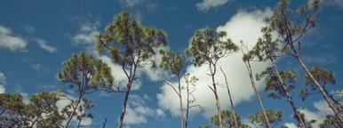 Caribbean pine trees