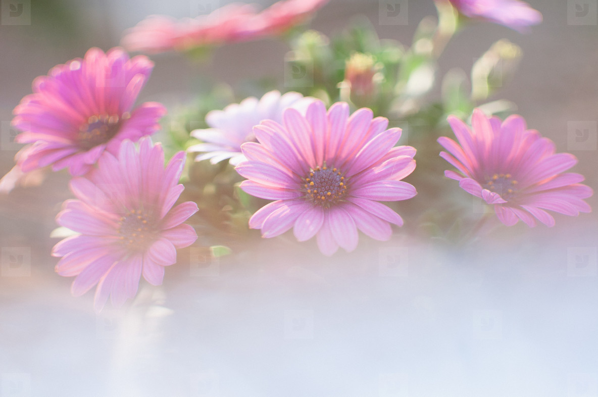 Purple Cape Daisies