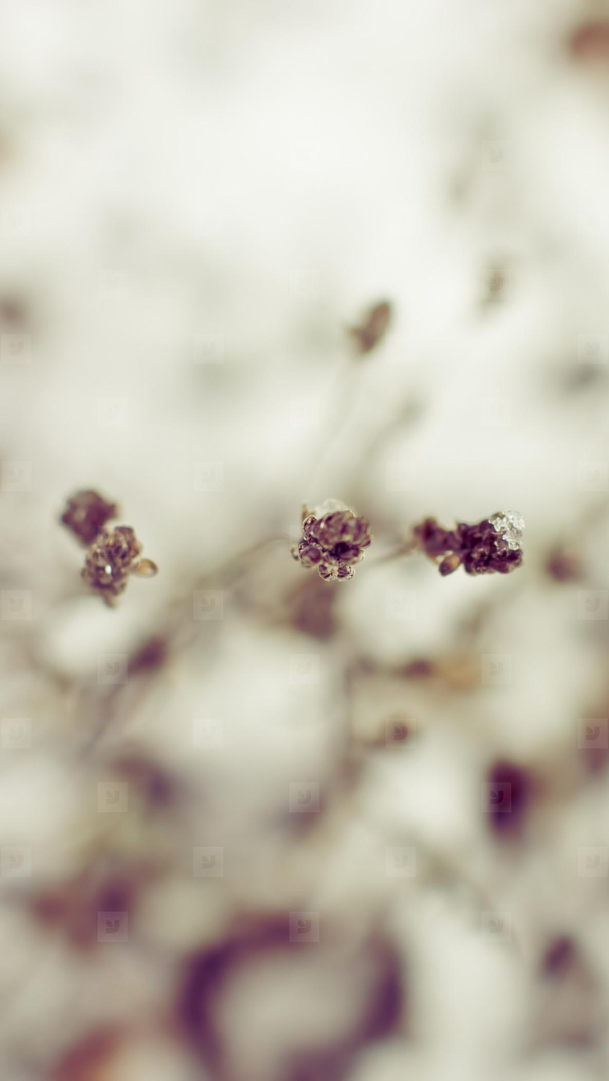 Lavender Plant in Snow