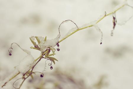 Snow Resting on a Vine