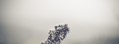 Snow Resting on a Botanical II