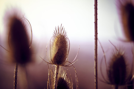 Teasel Plant II