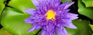 Water Lily  lotus