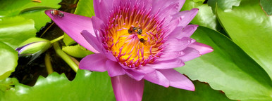 Bee in the Water Lily  lotus