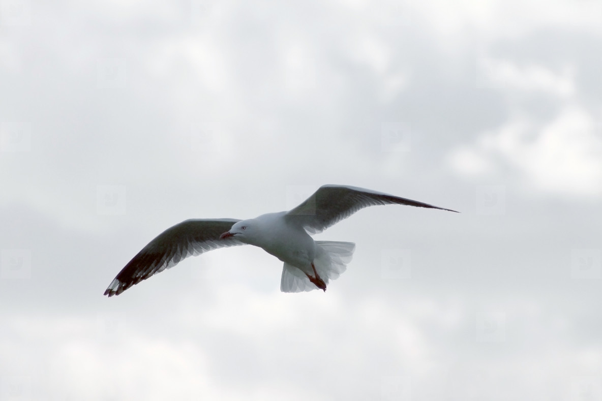 Flying Seagull 02