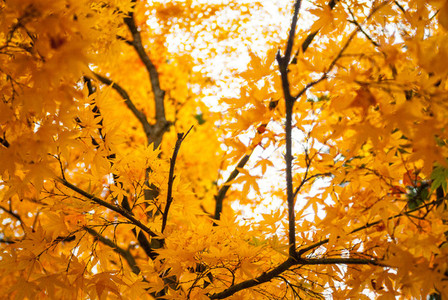 Fall color  yellow leaves