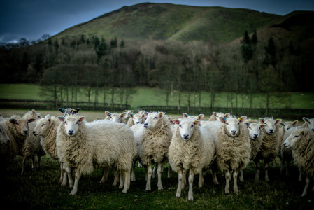 Sheep Following