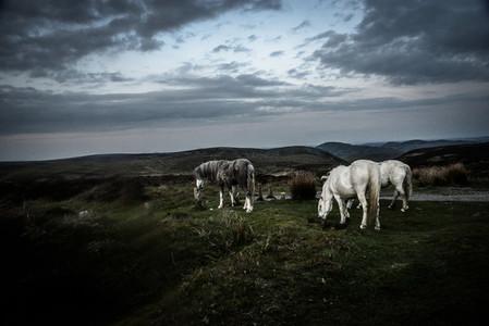 Moorland Ponies