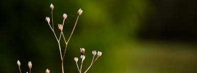 Dried Flowerheads