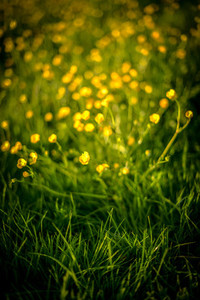 Beautiful Buttercups