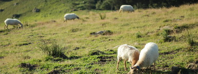 ewes grazing