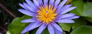 Water Lily  lotus close up