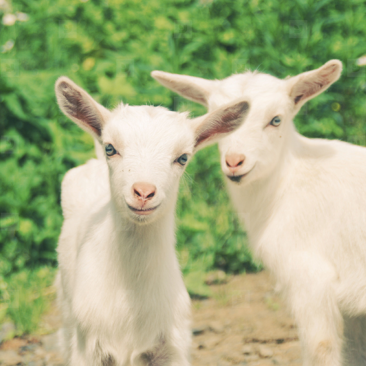 smiling little goats