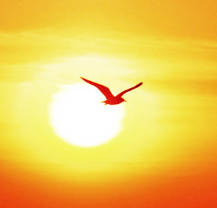 Seagull on sunset background