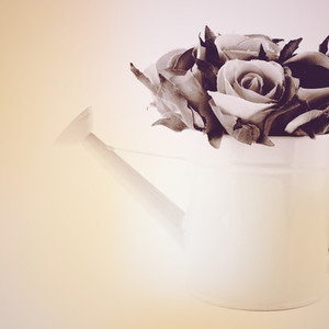 Rose in watering can