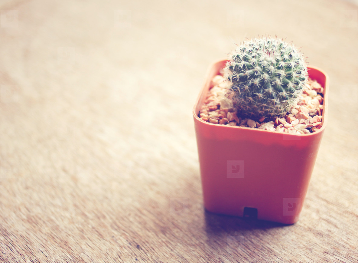 Cactus for decorated