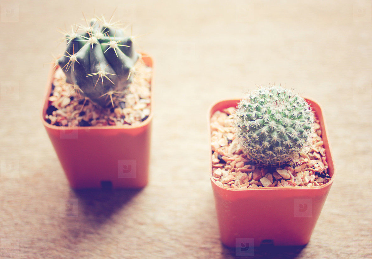 Two cactus for decorated