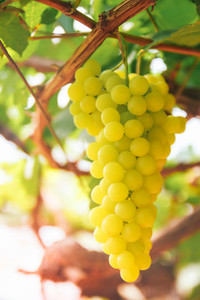 Grape vine in the yard