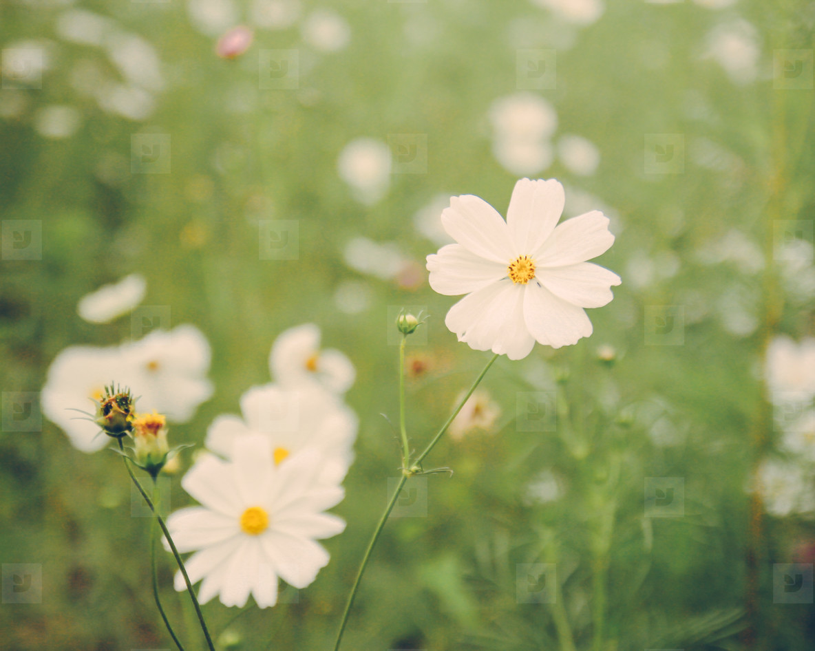 Photos White Cosmos Flowers Youworkforthem