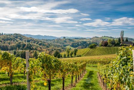 Vineyards  grapes