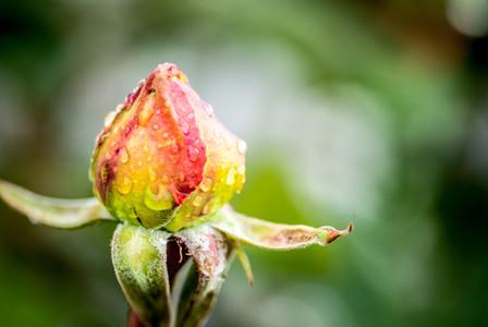 Roses   water drops