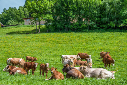 Cows in the nature