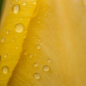 Rain drop   rose