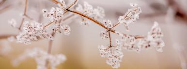 Ice plants