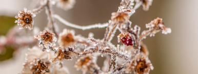 Wild berry   Ice