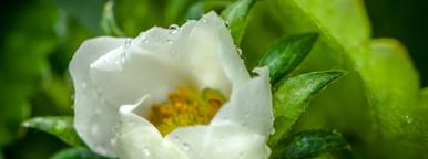 Blossom   rain dorps