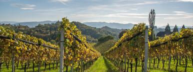 Wine hills   Grapes