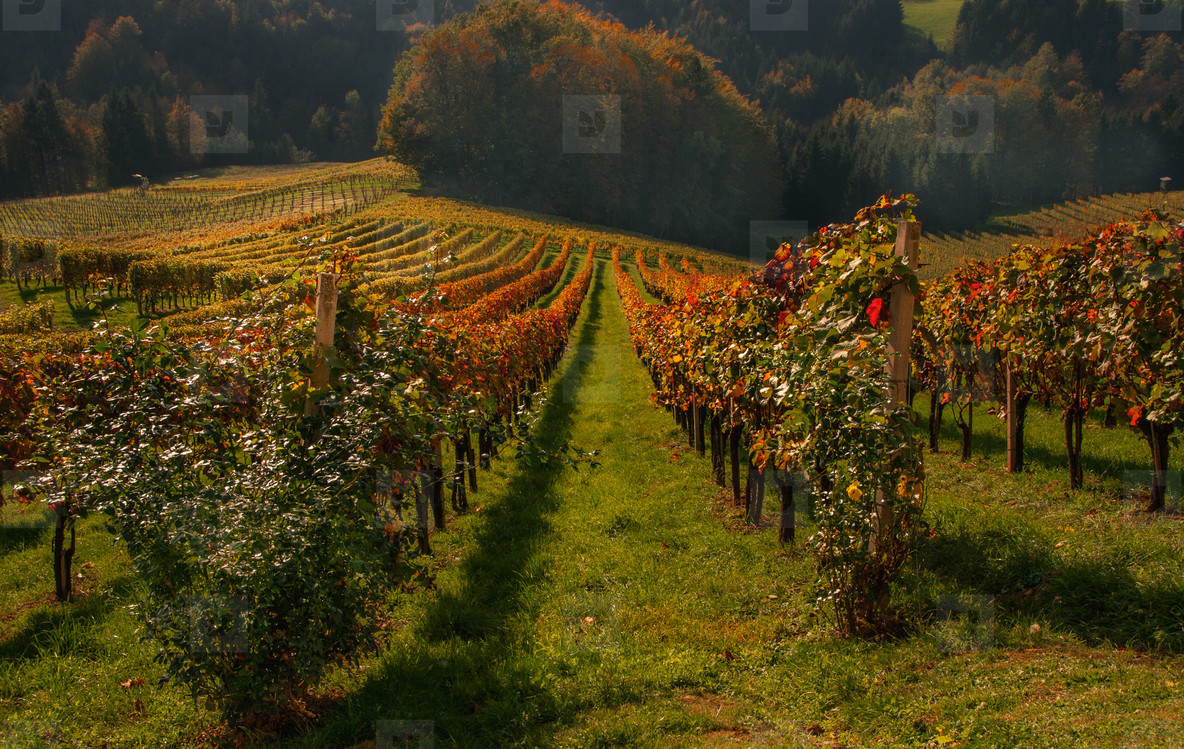 Autumn Wineyards