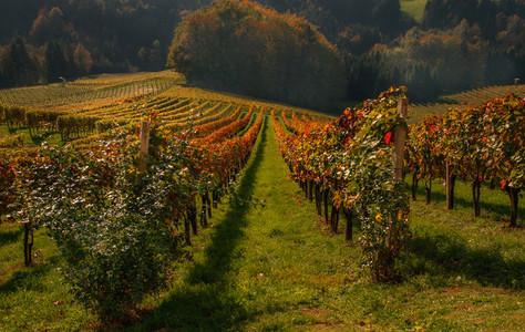 Autumn Wineyards