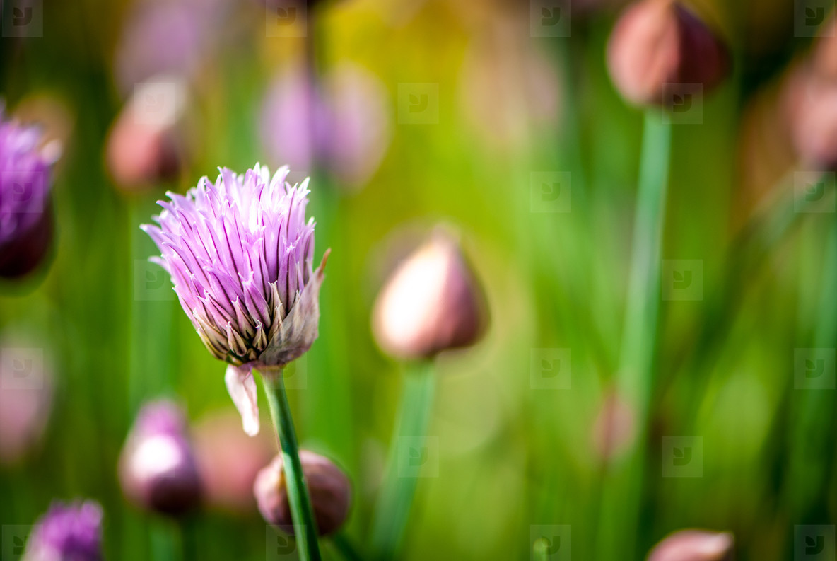 Chive   nature