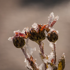 Frozen Flowers