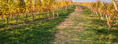 Summer wineyards