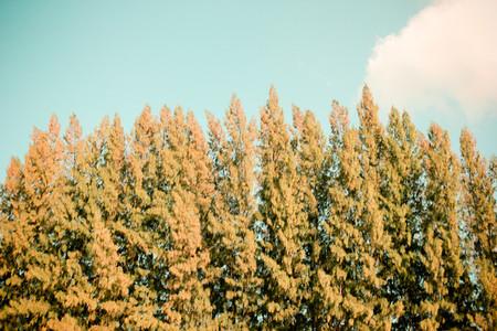 Beautiful pine trees and sky