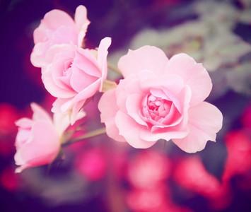 rose in garden