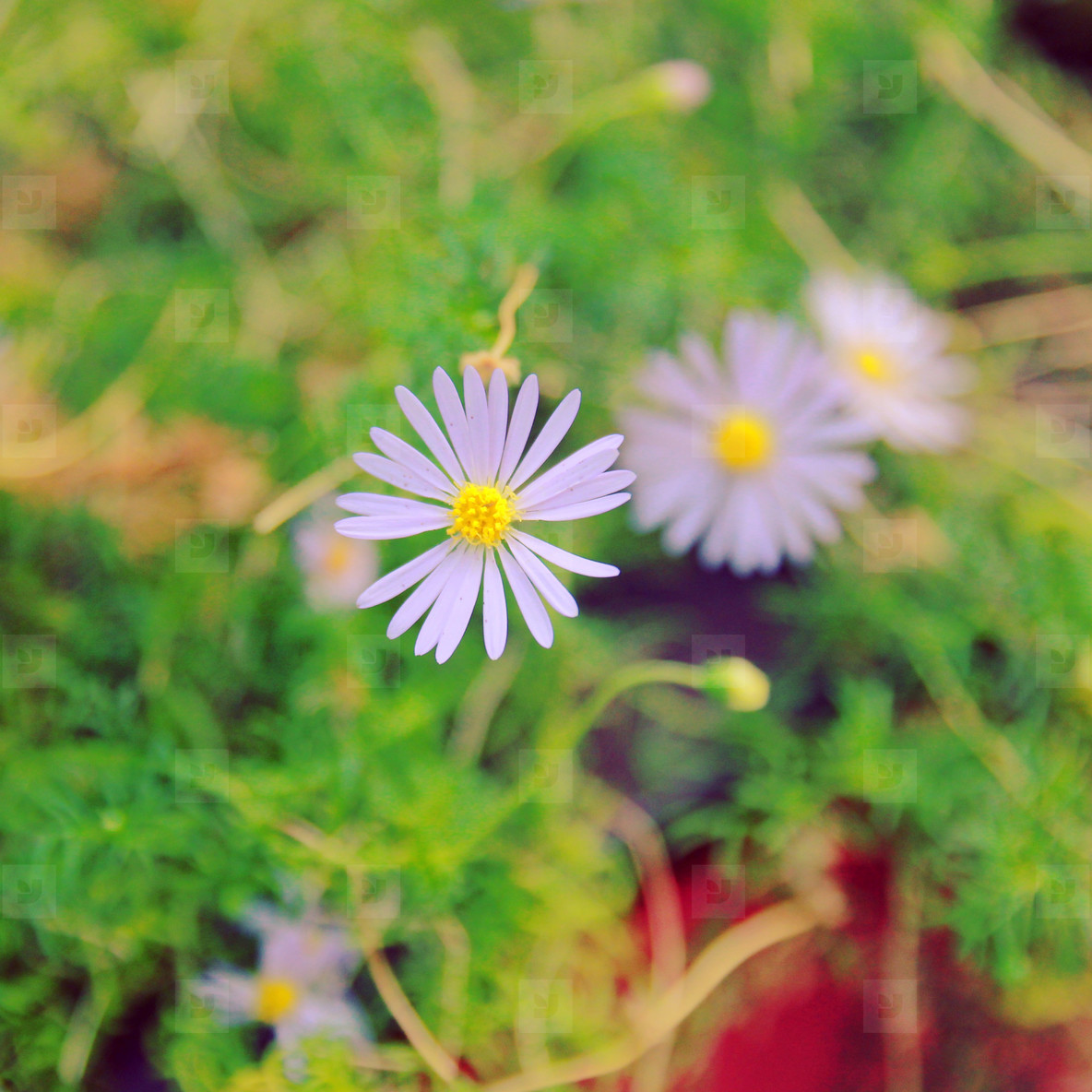 Daisy flowers in garden