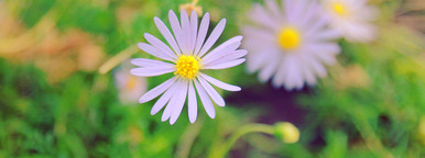 Daisy flowers in garden