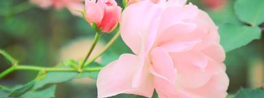 Pink rose in garden