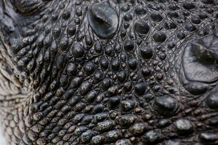 CrocodileCrocodile Skin