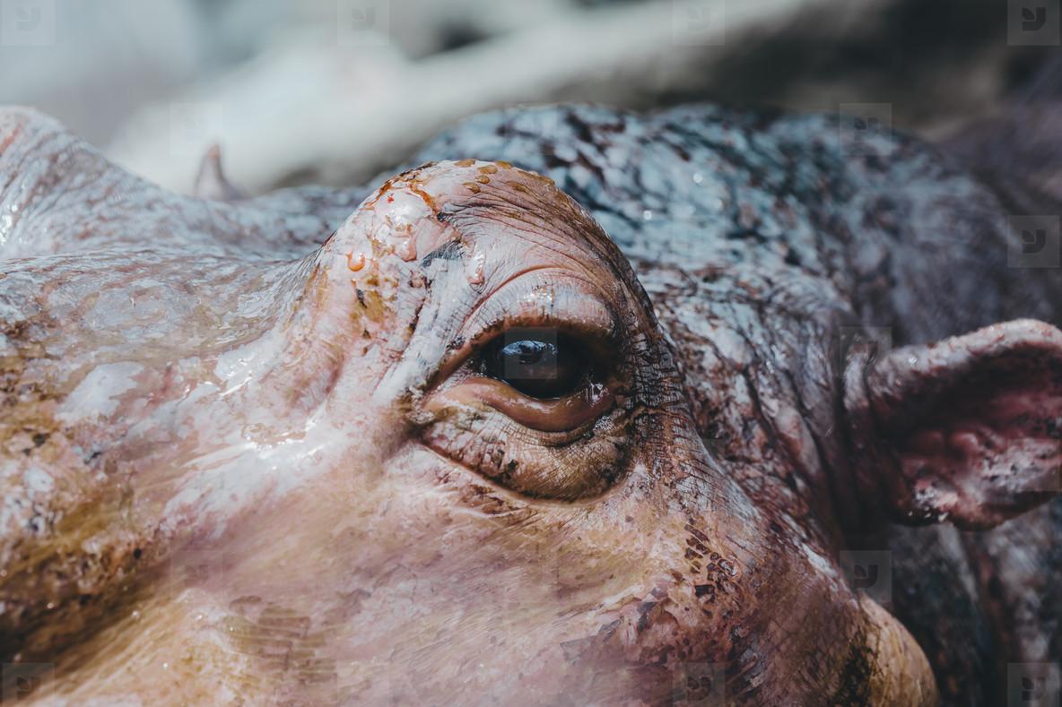 Hippo Eyes