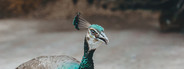 Asian Peacock