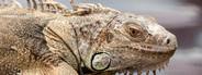 Macro Lizard