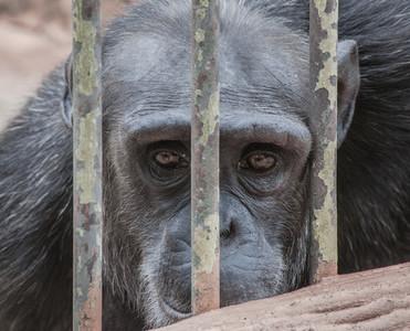 Sad Monkey Eyes