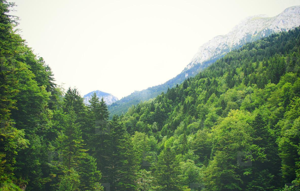 Beautiful pine trees on mountain