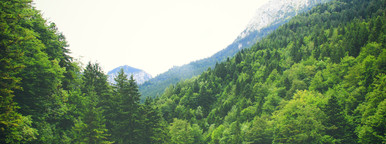Beautiful pine trees on mountain