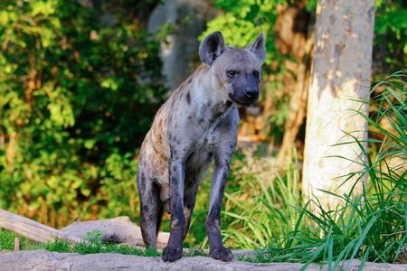 Hyena Smart